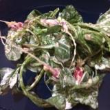 二十日大根の間引き菜でマヨしょうゆ和え(´∀`)