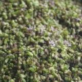 紫蘇の実の保存法 塩漬け