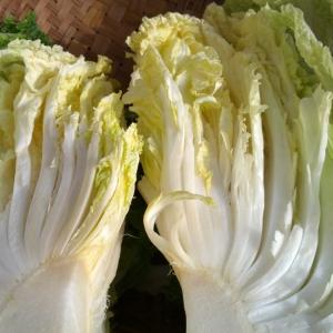 白菜は1玉丸ごと買い、の提案☆