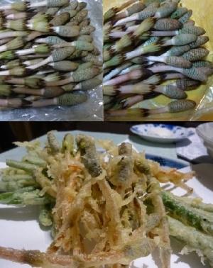 つくしを1週間生で保存し、天ぷらに。