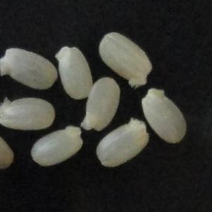 玄米から発芽玄米の作り方