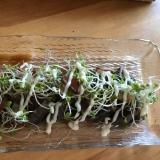 鰹のたたきとスプラウトのサラダ